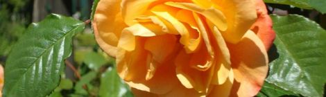 Image of a beautiful yellow rose