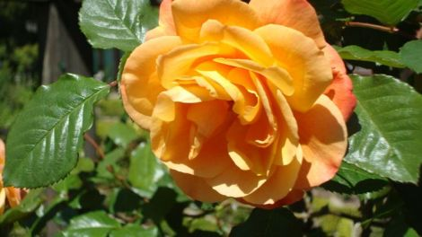 Image of a beautiful yellow rose