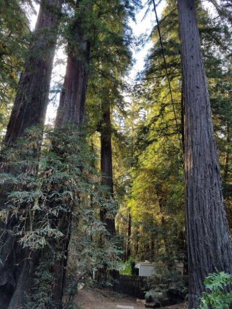 Image of beautiful Redwood trees
